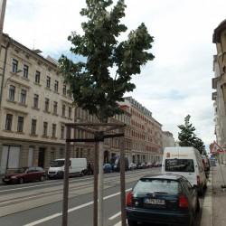 Straßenbaum an der Georg-Schumann-Straße